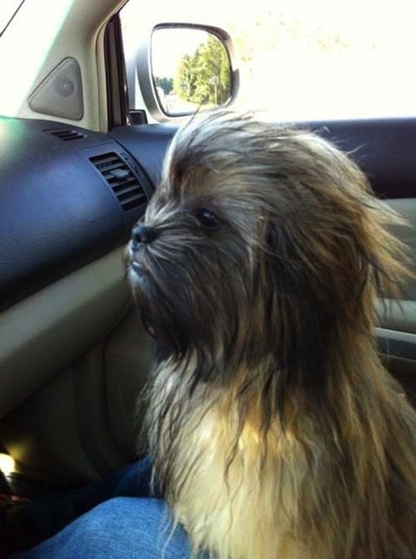chewbacca-dog