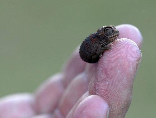 a-baby-chameleon.