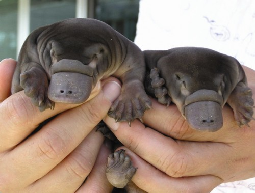 just-a-couple-baby-platypus,-nothing-more.