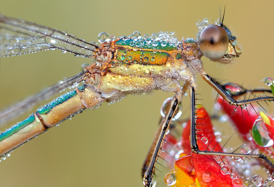 dragonfly-details.