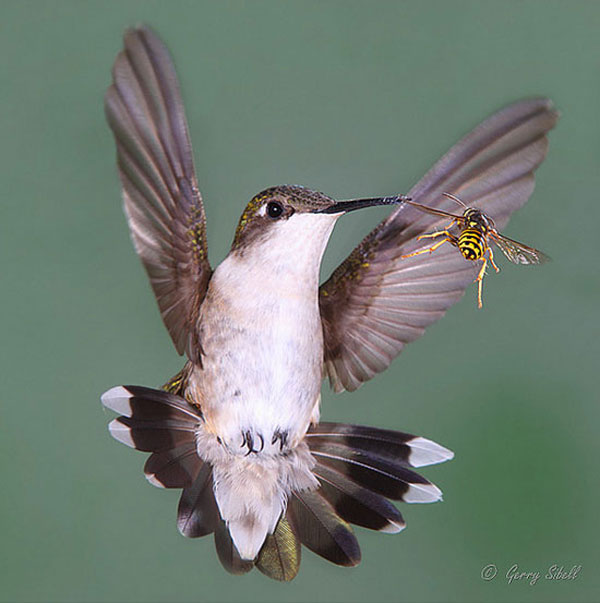 hummingbird-bee