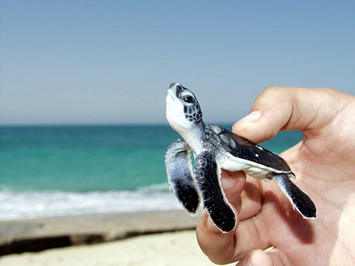 Cute baby sea turtles in the water - photo#28