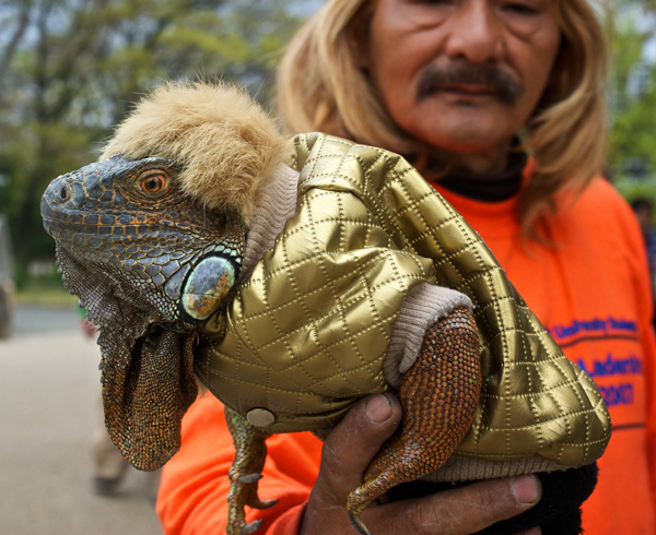 Just a lizard in a shiny gold jacket… | Funny Pictures, Quotes ...
