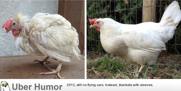 Funny Quotes About Chickens: Battery Caged Chicken On The Day It Was Let Out Of It's