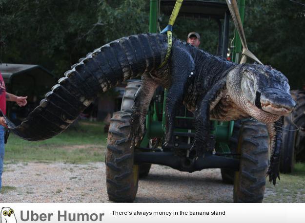 Massive 1011.5lb alligator caught in Hilton Head, AL