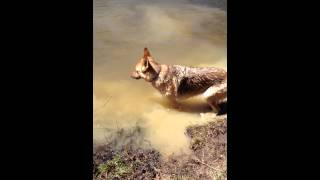 German Shepherd throws a tantrum when she has to quit swimming