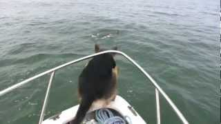 German Shepherd gets too excited and jumps off boat towards dolphins