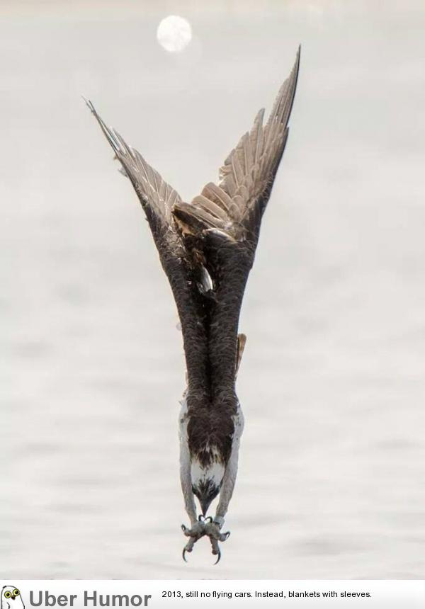 A beautiful shot of an Osprey in a dive.