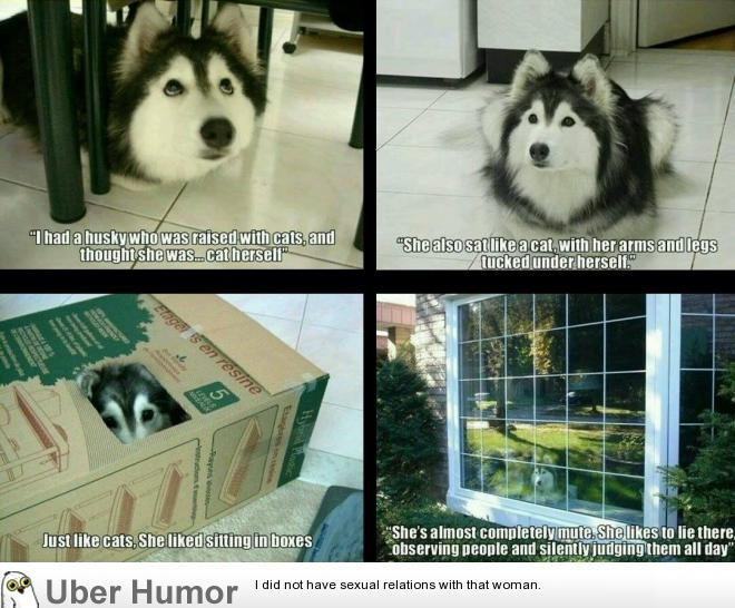 Husky Raised By Cats Funny Pictures Quotes Pics Photos Images