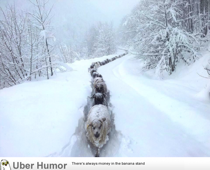 just something funny sheep snow trail