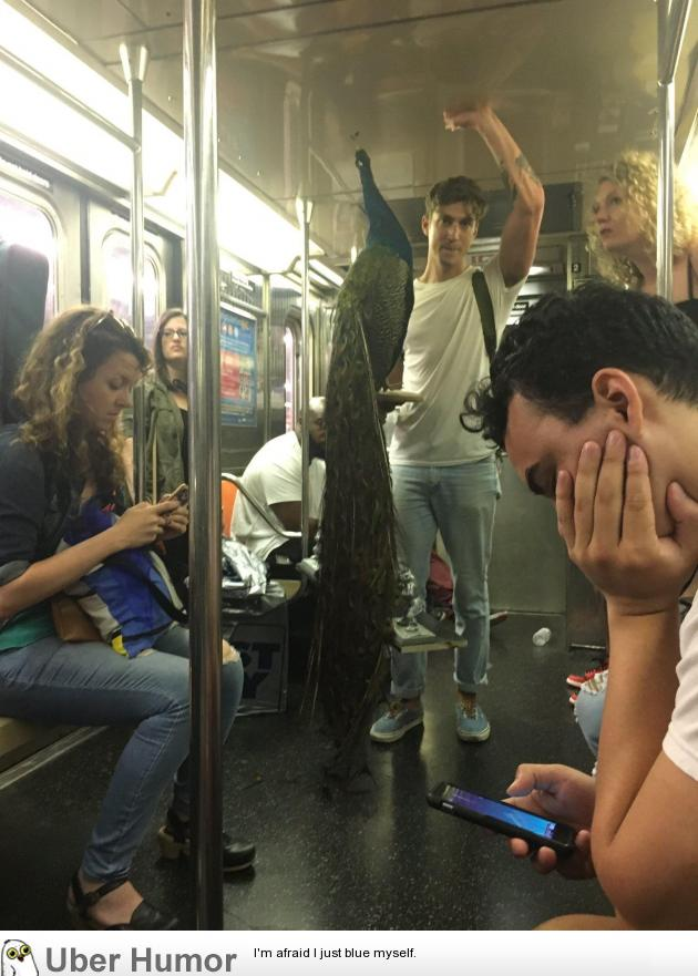 A guy brought his peacock onto the NYC subway and no one even looked up from their phones