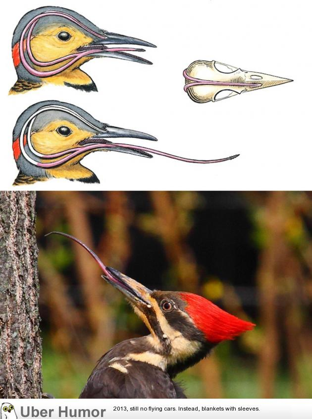 A Woodpecker's tongue is so long that it wraps around its skull