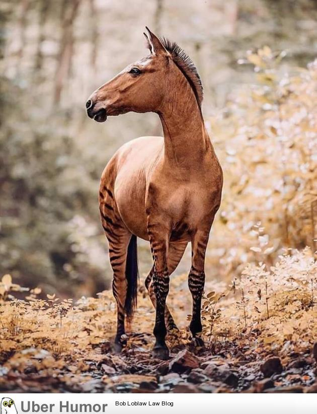 A Zorse; hybrid between a Zebra father and a Horse mother