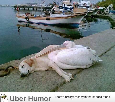 A pelican befriended a stray dog who was often spotted hanging out all alone along the boat docks. The man who photographed this has adopted him but brings him back every day to see his friend, Petey the Pelican.