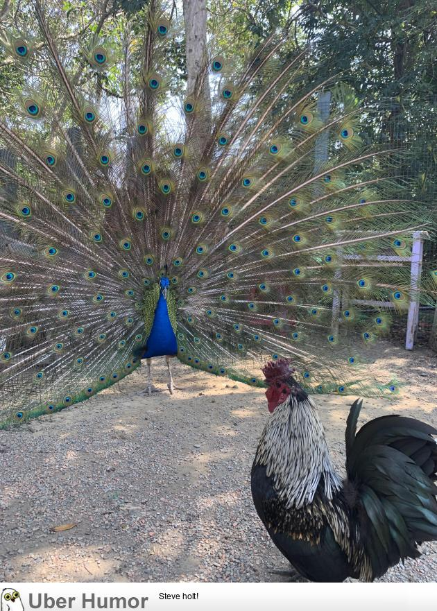 So today I saw a peacock desperately trying to impress a chicken…
